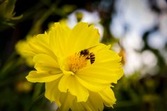 Bee flying on yellow flowers. Closeup Bee flying on yellow flowers stock photos