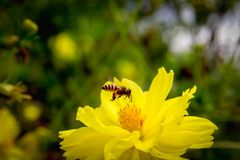 Bee flying on yellow flowers. Closeup Bee flying on yellow flowers stock photo