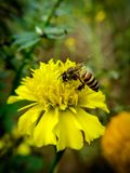 Bee flying on yellow flowers. Closeup Bee flying on yellow flowers royalty free stock photography
