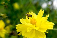 Bee flying on yellow flowers. Closeup Bee flying on yellow flowers royalty free stock image