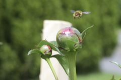 Bee flys away. Honey bee flying away from the the budding peony in the garden in early summer Stock Photography