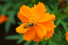 Bee forage Royalty Free Stock Photos