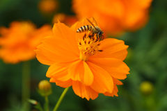 Bee forage Stock Images