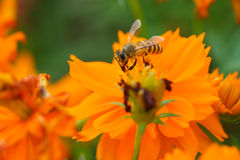 Bee forage Royalty Free Stock Image