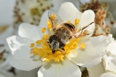 Bee Closeup in White Flower royalty free stock image