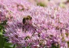 Bee foraging on Hylotelephium spectabile Royalty Free Stock Image
