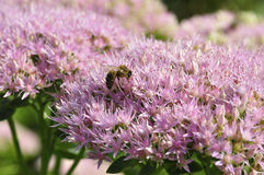 Bee foraging on Hylotelephium spectabile Stock Photo