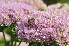 Bee foraging on Hylotelephium spectabile Stock Images