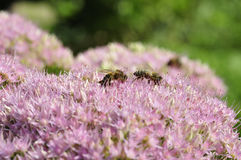 Bee foraging on Hylotelephium spectabile Stock Photography