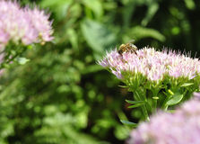 Bee foraging on Hylotelephium spectabile Royalty Free Stock Photos