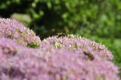 Bee foraging on Hylotelephium spectabile Royalty Free Stock Images
