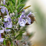 Bee foraging. Pollinating insect in a rosemary plant Stock Photo