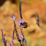 Bee foraging on small wild flowers Stock Images