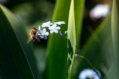 Bee on the forget-me-not Stock Photography