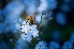 Bee on the forget-me-not Royalty Free Stock Photography