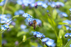 Bee on Forget-me-not. Honeybee on the blossom of forget-me-not in a field of blue flowers Royalty Free Stock Photography