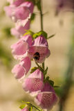 Bee on foxglove Royalty Free Stock Images
