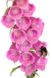 Bee and Foxglove Flower Royalty Free Stock Images