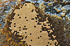 Bee frame with bees. And honey royalty free stock images