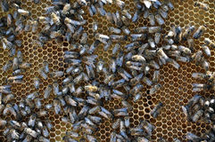 Bee frame with honey and brood. Vertical frame hive of bees, drones, sealed honey and brood closed stock image
