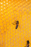 Bee on a frame with honey Stock Image