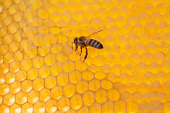 Bee on a frame with honey Stock Photography