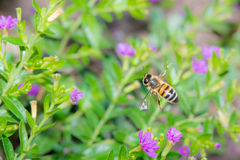 Bee frozen in flight Royalty Free Stock Photography