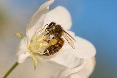 Bee on a fruit tree blossom. Macro of a bee working on a blooming thee Royalty Free Stock Photo