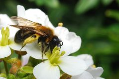 A bee full of polen feeding on a flower. A wonderful bee with her legs full of polen feeding on a beautiful white flower Royalty Free Stock Photo