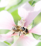 Bee full of pollen on a malva flower Stock Images