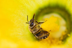 Bee full of pollen Royalty Free Stock Photography