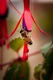 Bee on fushia riccartonii flower Royalty Free Stock Images