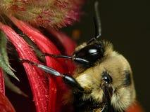 Bee on Gaillardia Stock Photo