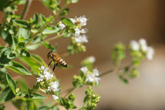 Bee in the garden. Bee hovering above a flower in the garden Royalty Free Stock Photos