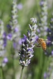 Bee in the garden. Bee hovering above a flower in the garden royalty free stock photo