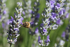 Bee in the garden. Bee hovering above a flower in the garden royalty free stock images