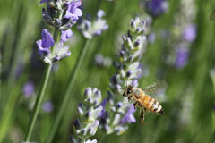 Bee in the garden. Bee hovering above a flower in the garden stock photo