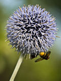 Bee-garden leek Royalty Free Stock Photos