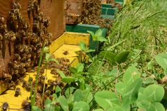 Bees bring pollen into the hive - detail. In bee garden. A lot of honey bees, illuminated by sunlight. In the foreground leaf clover royalty free stock photography