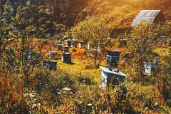 Bee-garden with multiple. Apiary on sunny warm autumn meadow overgrown with bushes, native grasses and wildflowers: multiple bee-hives in distance, cabin of Royalty Free Stock Image