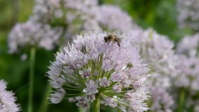 Bee on  garlic blossom Royalty Free Stock Photo