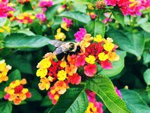 Bee gather honey from blooming colorful lantana flowers. Inside Sunken Garden at Hill–Stead Museum in Farmington, Connecticut, United States stock photos
