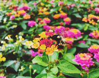 Bee gather honey from blooming colorful lantana flowers. Inside Sunken Garden at Hill–Stead Museum in Farmington, Connecticut, United States royalty free stock photo