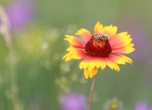 Bee gather honey in flower. Bee gathering honey on alone flower in summer time stock image
