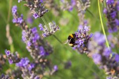 Bee gather honey from flowers royalty free stock photo