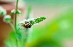 Bee gather pollen on white flower of mint. In garden royalty free stock photo