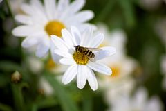 Bee gathering. Royalty Free Stock Photography