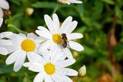 Bee gathering. Royalty Free Stock Photos