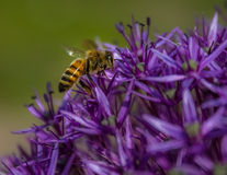 Bee gathering Stock Photography