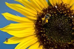 Bee Gathering Golden Pollen from a Yellow Sunflower Royalty Free Stock Photography